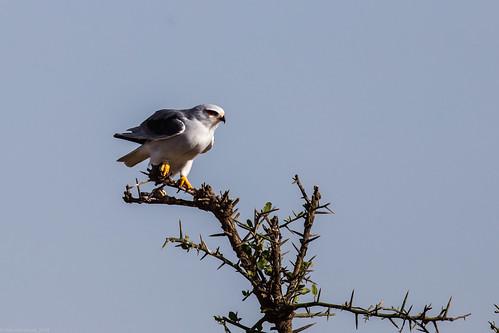 Serengeti_17sep18_04_gaie cu aripi negre | by Valentin Groza