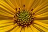 Woodland Sunflower XXIV by maspick