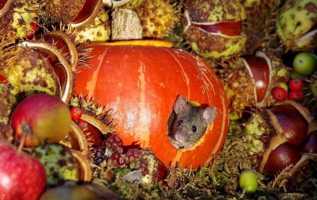 Mouse inside a Autumn pumpkin  (1)