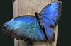 Blue Morpho by roland_tempels