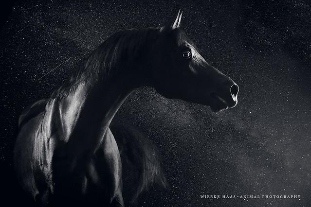 Tierfotograf; Tierfotografie; animal; photography, Araber, Hengst, Vollblut, Vollblutaraber, Arabian, Pferd, Pferdefotograf; Pferdefotografie