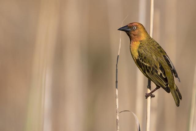 Kaapse wever - Cape Weaver