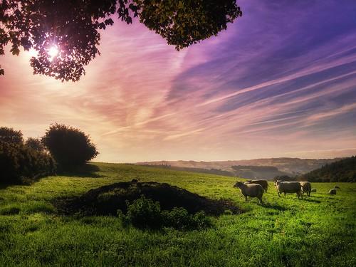 sheep wales ngc lampeter teifivalley