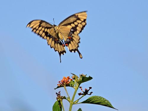 Giant Swallowtail 20181005