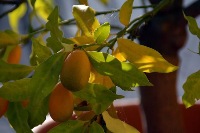 Cumquat (citrus japonica)