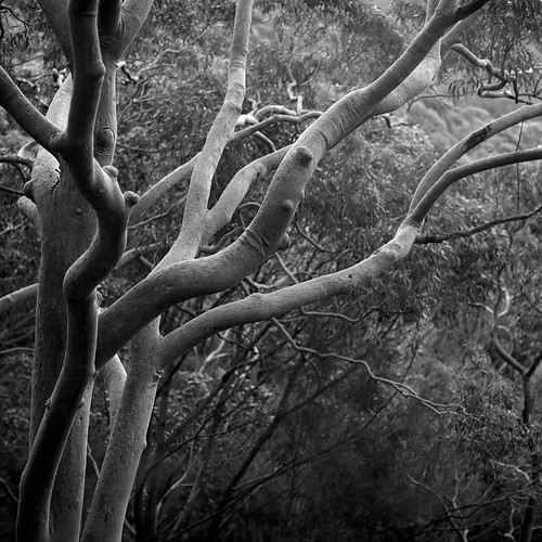 Red Gum | by ss9679