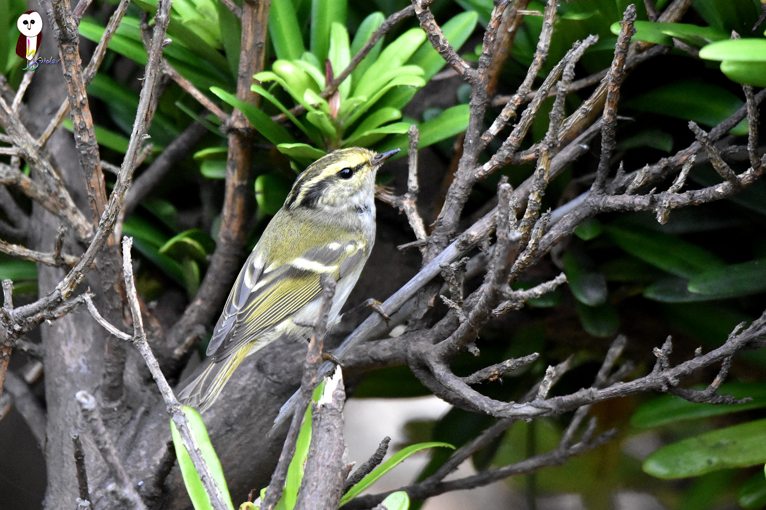 Yellow-browed_Warbler_6165