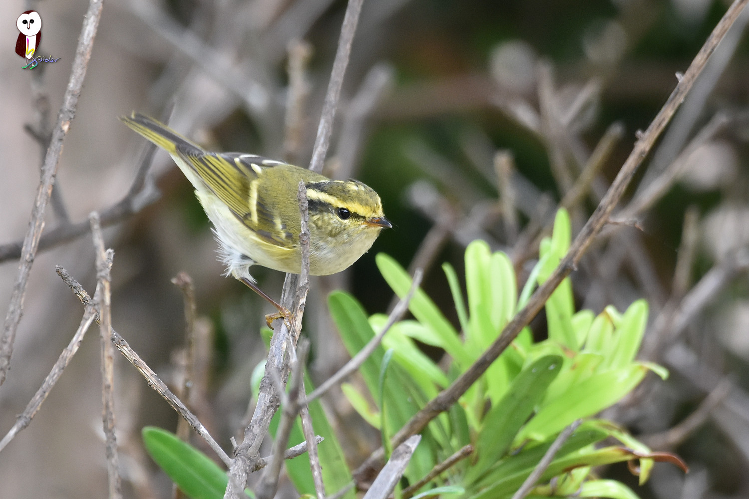 Yellow-browed_Warbler_4742