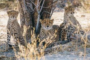 Cheetah Family, Botswana