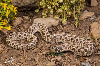 Western Hognose Snake | by Frank Portillo