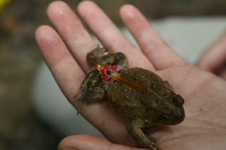 First there was the Griffin. Now, we have toads wearing backpacks. | by William & Mary Photos