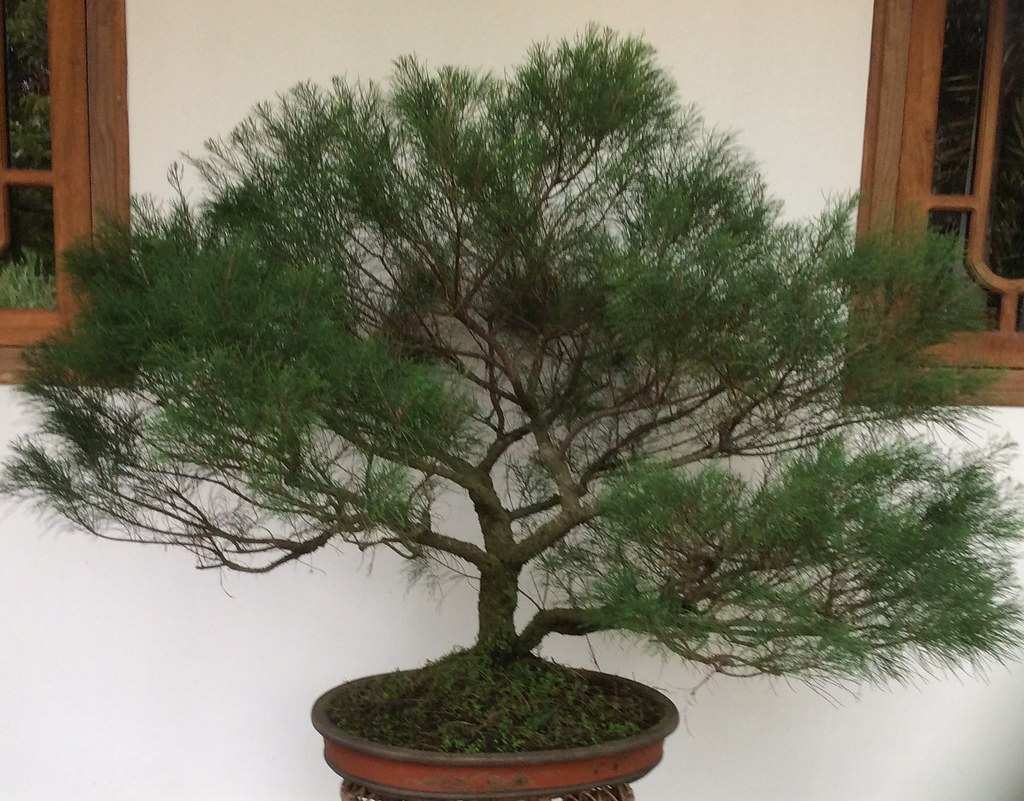 Casuarina equisetifolia bonsai ( Australian pine, also known as 'she oak' ). It is one of the best trees suitable for bonsai. -