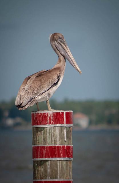 Perch for Pelicans