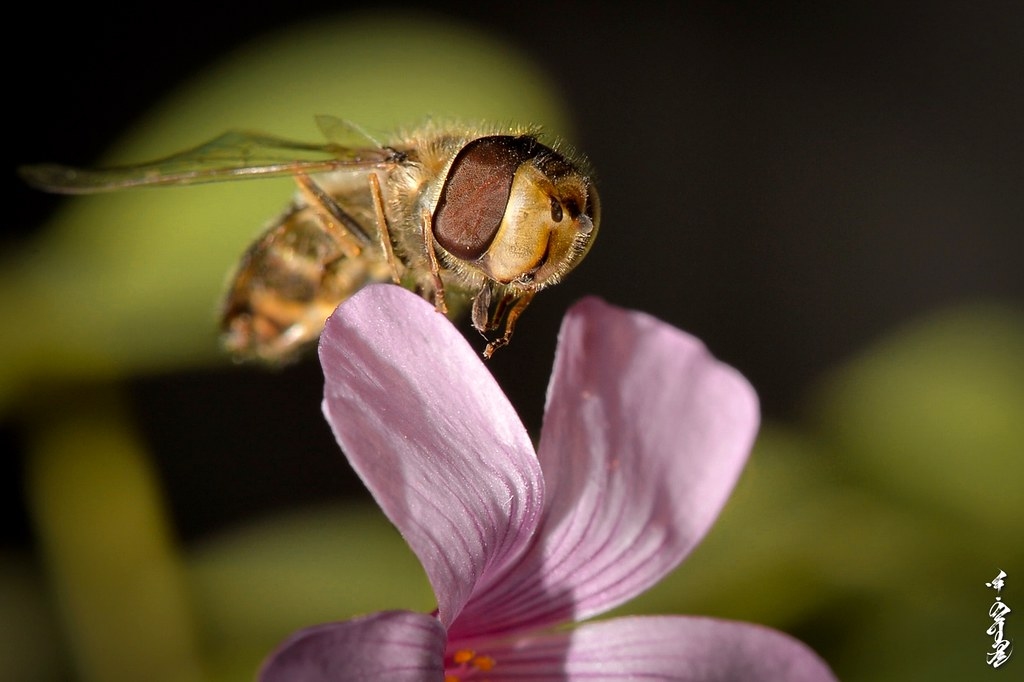 Hoverfly in my home ...