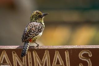 Serengeti_17sep18_13_d'arnaud's barbet2 | by Valentin Groza