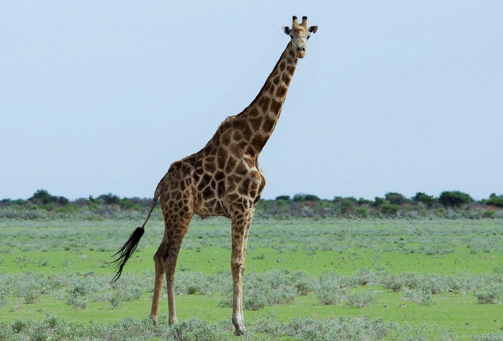 South African giraffe or Cape giraffe (Giraffa camelopardalis giraffa)_