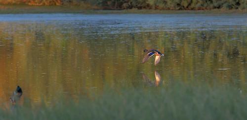 riparianpreserve riparian preserve flyingduck flying duck gilbert arizona az sunset reflections birdinflight bif