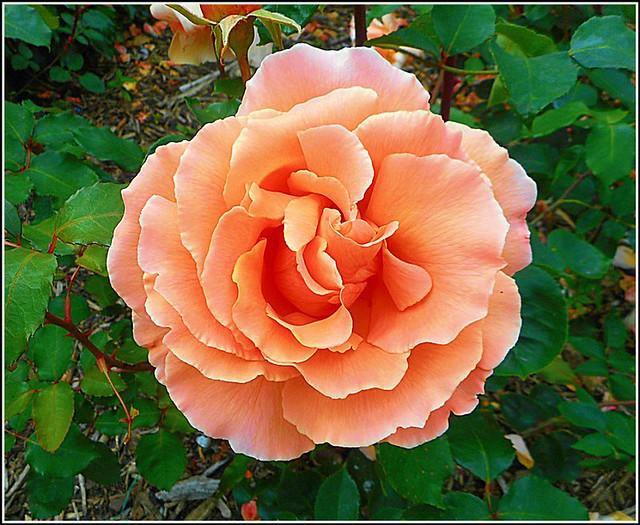 Lovely Pink Rose ..