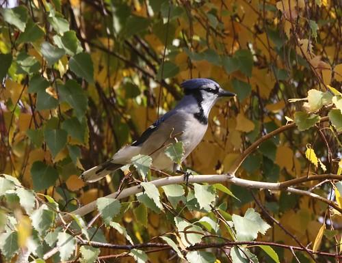 kevinlucas bluejay cyanocittacristata randallpark yakimacountywashingtonus yakimacountyrarebird yakimararebird branch birch