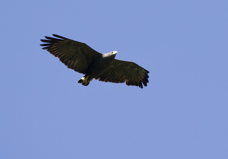 Solitary Eagle, Buteogallus solitarius 199A6552