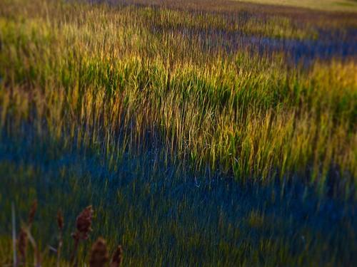professorbop drjazz olympusem1 branfordconnecticut connecticut connecticutshoreline stonycreek marsh marshland reeds color nature