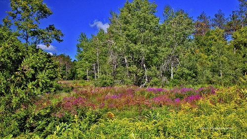 tree wildflower goldenrod purple strife nature tecumseth pines simcoe county forest tottenham ontario
