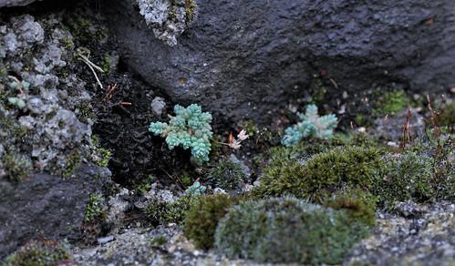 Collema et Lathagrium - lichens gélatineux 31678567658_37fdc7cc9d