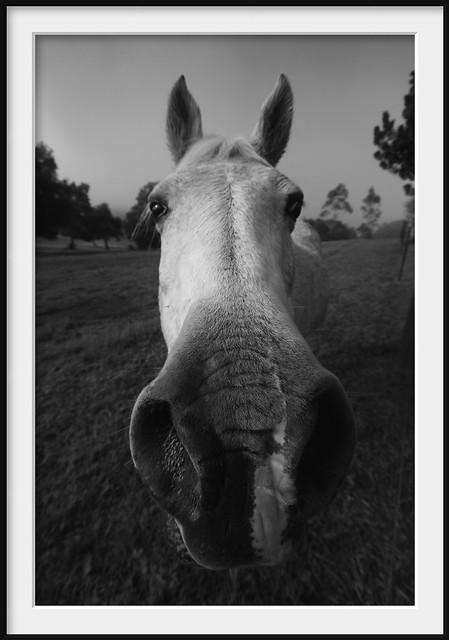 equine olfactory proboscis