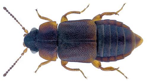 Megarthrus denticollis (Beck, 1817) Male | by urjsa