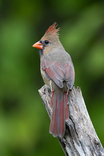 Northern Cardinal posing | by Rob & Amy Lavoie