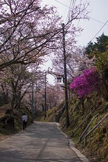 Mt Yoshino Sakura - Nara, Japan | by inefekt69