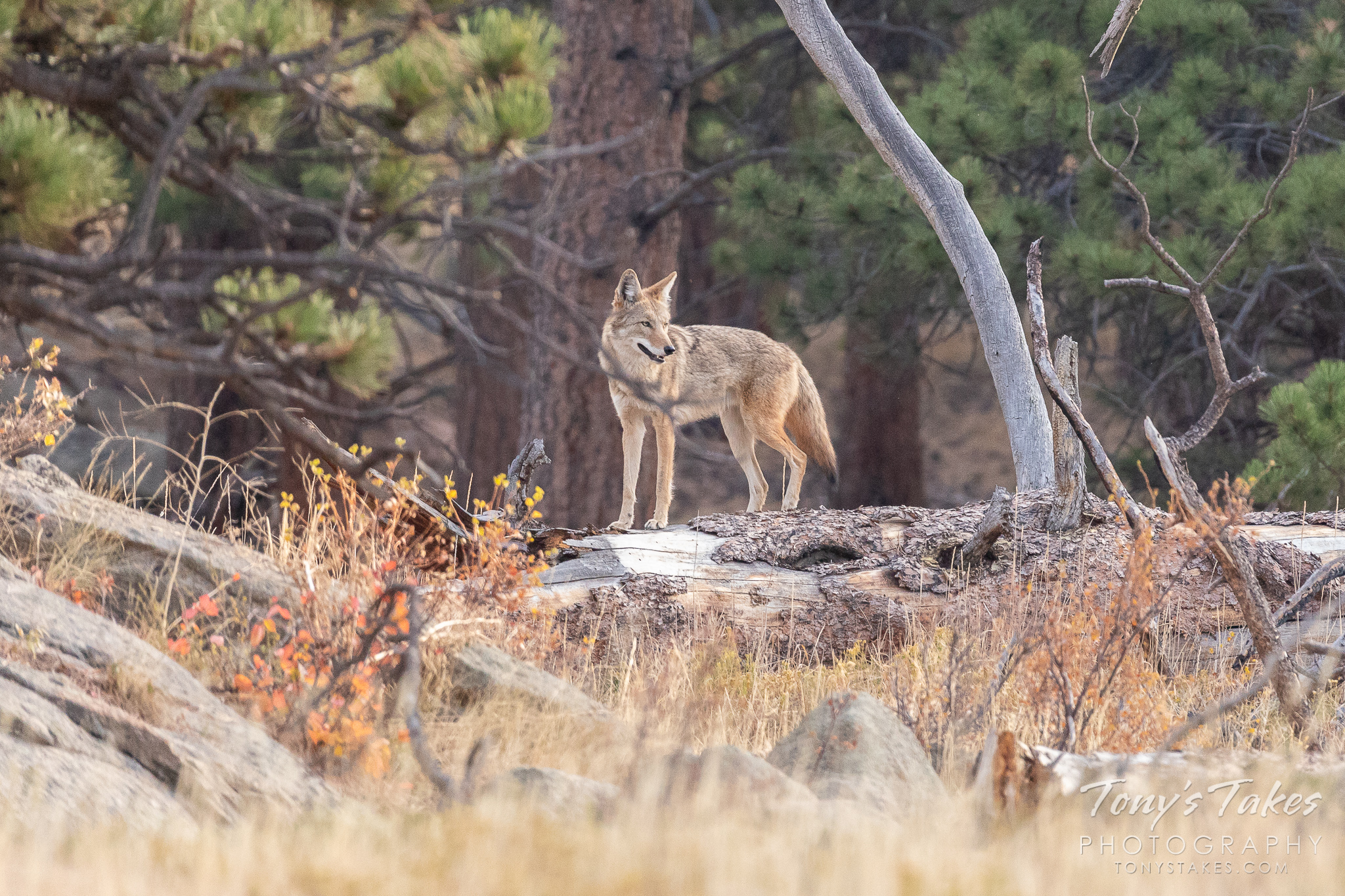 A coyote stands on top of a downed tree, keeping watch in Rocky Mountain National Park. (© Tony's Takes)