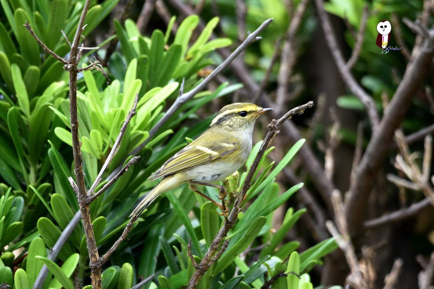 Yellow-browed_Warbler_4782