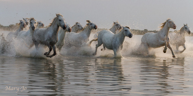 Chevaux de Camargue en plein effort...  Horses of Camargue in full effort ...
