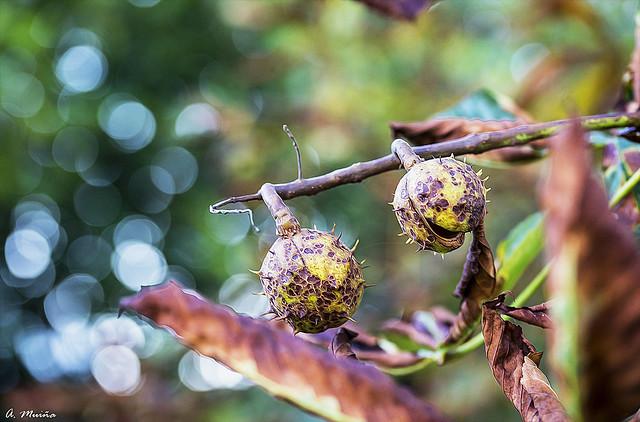 The fruit of the horse chestnut. Fruto del castaño de indias