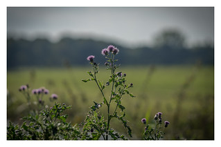 Thistle - DSC01662.jpg   by Fred_St