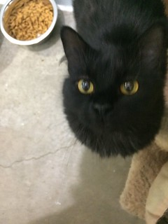 Fancy - 1 year old spayed female | by carescatshelter