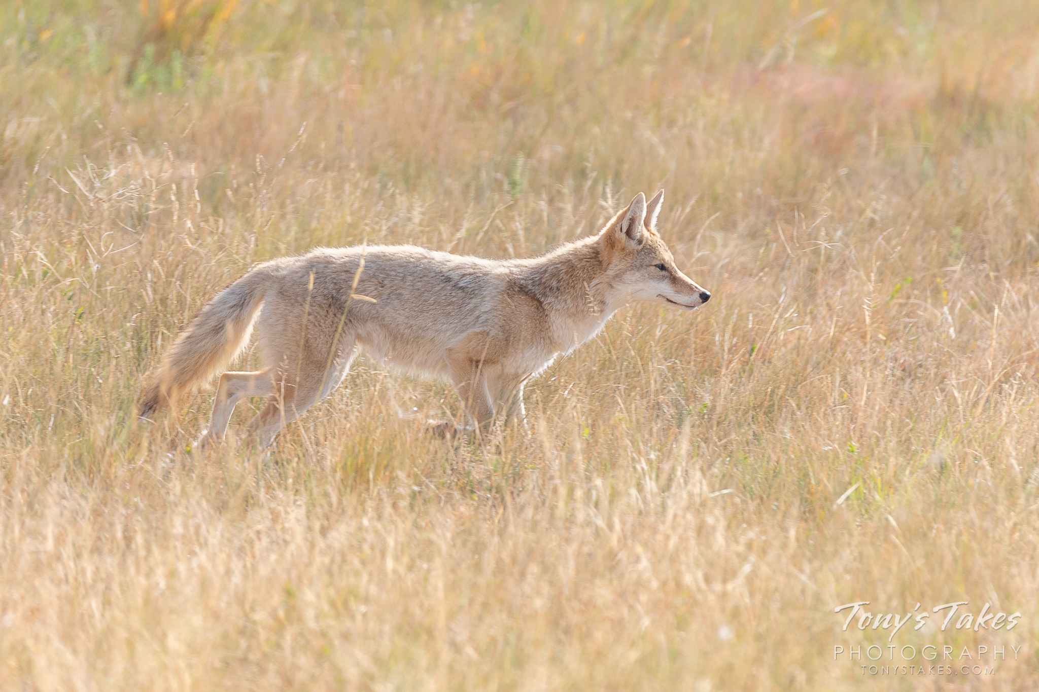 Coyote hunts through the grass for a meal
