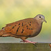 Ruddy ground-dove - Colombe rousse  - Tortolita rojiza - Columbina talpacoti