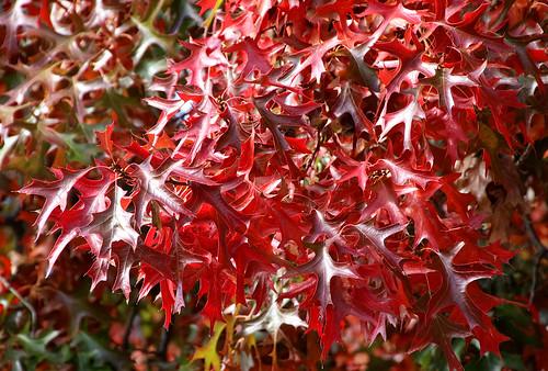 Deep Red Leaves