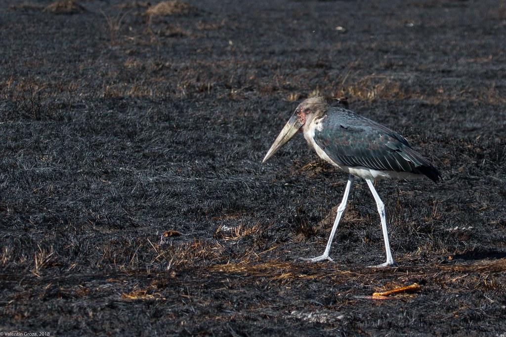 Maasai Mara_13sep18_19_marabu stork2