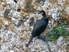 European shag/Corvo-marinho-de-crista (Phalacrocorax aristotelis) by Héctor Bottai