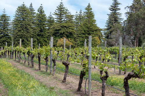 Vines and Pines at the Vineyard