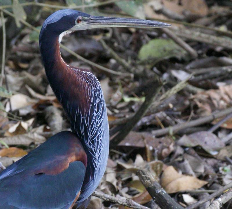 Agami Heron, Agamia agami 199A9185