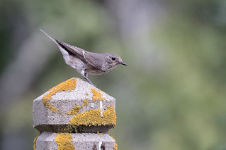 Spotted Flycatcher | by Jeremy Jeffery