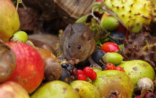 wild house mouse with wild picked fruits nuts and berries Autumn display (4)