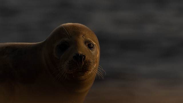 Seal at daybreak