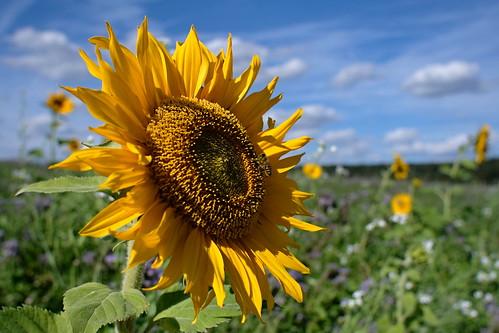 Sonnenblume mit Besucher | by Enzio H.
