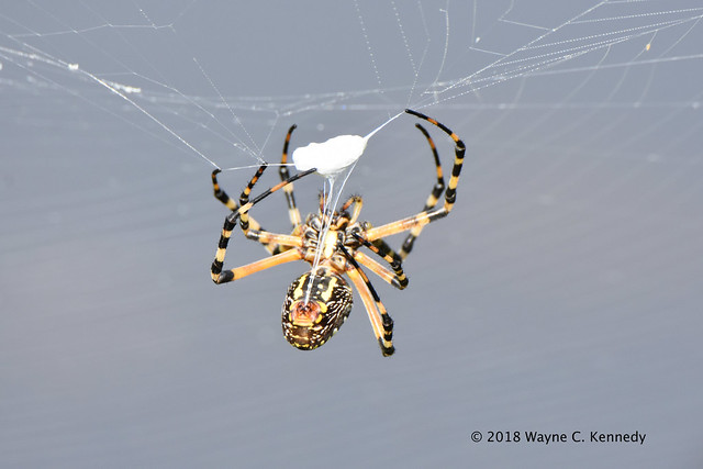 Banded Garden Spider wrapping its prey