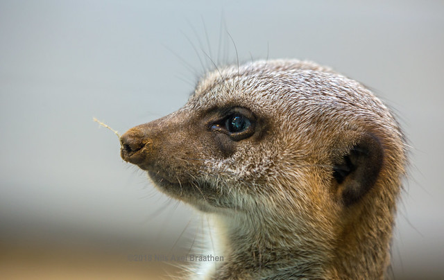 J77A9803 -- Face of a Meercat in Sapporo